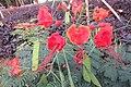 SZ 深圳 Shenzhen 羅湖 Luohu District Wenjin North Road 洪湖公園 Honghu Park Dec-2017 IX1 紅蝴蝶 Caesalpinia pulcherrima 番蝴蝶 洋金鳳 黃蝴蝶 豆科 蘇木屬 red flowers green leaves plant 12.jpg