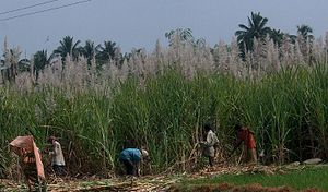 Saccharum officinarum - Harvesting sugarcane by hand