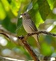 Saffron Finch (Sicalis flaveola) female (28852098695).jpg