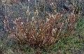 Salix alaxensis 01(js).jpg