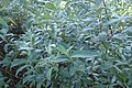 Salix lapponum kz01.jpg