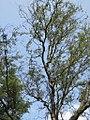 Salix matsudana - kovrdžava vrba 1.jpg