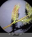 Salix purpurea sl1.jpg