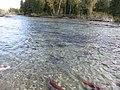 Salmon run at Adams River 2010 (5074668710).jpg