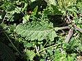 Salvia verbenaca leaf3 ST (15501505034).jpg