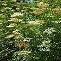 Sambucus nigra-IMG 0920.jpg