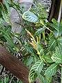 Sanchezia speciosa (3).JPG