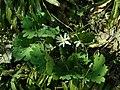Sanguinaria canadensis 2019-04-16 0258.jpg