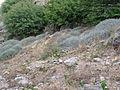 Santiago-Monte Graciosa-Sarcostemma daltonii (1).jpg
