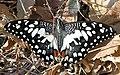 Santosh Papilio demoleus.jpg