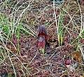 Sarracenia purpurea (5723870415).jpg