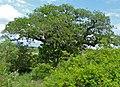 Sausage Tree (Kigelia africana) (11493305416).jpg