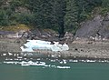 Sawyer Glacier Ice with Black Bears 2 (241890834).jpg