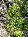 Saxifraga aizoides001.jpg