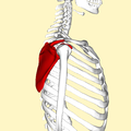 Scapula - lateral view3.png