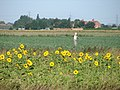Scarecrow and sunflowers - geograph.org.uk - 1453408.jpg