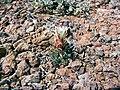 Sclerocactus papyracanthus NM BB.jpg