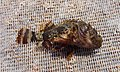 Scorpaena porcus 2009 G1.jpg