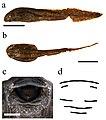 Scotobleps gabonicus (10.3897-zse.95.32793) Figure 18.jpg