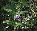 Scutellaria galericulata 1.jpg