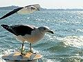 Seagulls 海鷗 - panoramio (1).jpg