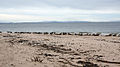Seals, Moray Firth - geograph.org.uk - 1165746.jpg