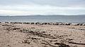 Seals, Moray Firth - geograph.org.uk - 1165746.jpg