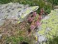 Sempervivum montanum001.jpg