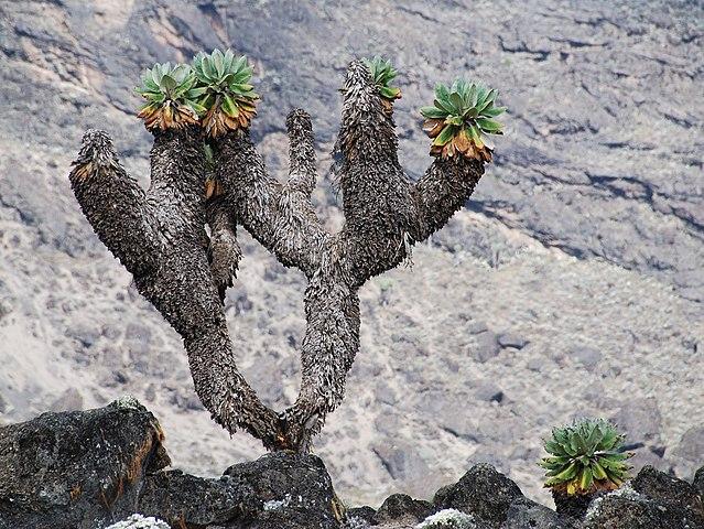 Senecio_Kilimanjari.jpg