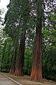 Sequoies.jpg