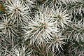 Ses Salines - Botanicactus - Cylindropuntia tunicata 04 ies.jpg