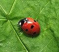 Seven-spot ladybird (Coccinella septempunctata) (8893001521).jpg