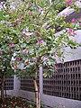Shatin bauhinia tree.jpg