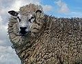 Sheep (edited version).jpg