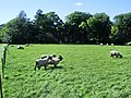 Sheep - geograph.org.uk - 496870.jpg