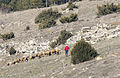 Sheep flock in Doğanbeyli.jpg