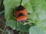 Shield bug (Pentatomidae genus) at Bhadrachalam 02.JPG