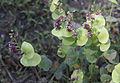 Shieldleaf Streptanthus tortuosus flowers.jpg