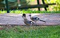 Shoresh 'Middle East' Eurasian Jay (Garrulus glandarius atricapillus). (7551719946).jpg