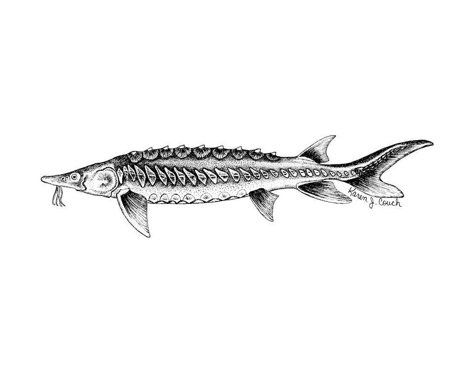 File shortnose sturgeon fish line art illustration for B liner fish