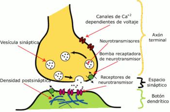 Ilustración esquemática de una sinápsis