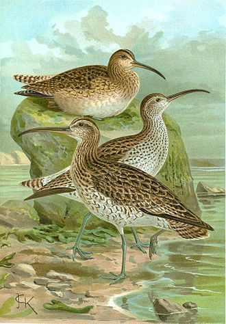 Slender-billed curlew - Slender-billed curlew (centre) between whimbrels