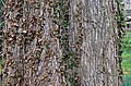 Slippery Elm Ulmus rubra Bark Horizontal.JPG