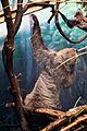 Sloth Reaching Up (17483284113).jpg