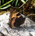 Small Tortoishell. Aglaise urticae. u-s - Flickr - gailhampshire.jpg