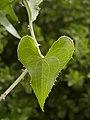 Smilax aspera (leaf).jpg