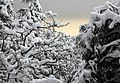 Snow in the Trees (14828844114).jpg