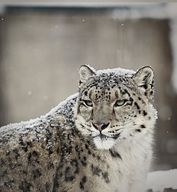 Snow leopard in snow 2.jpg