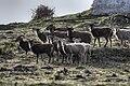 Soay sheep on Flat Holm.jpg