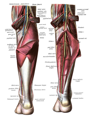Triceps surae muscle - Image: Sobo 1909 579 580